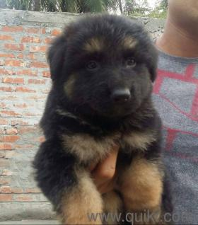 Double Coat Heavy German Shepherds Available In 6th Mile Guwahati
