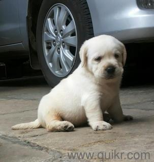 Labrador Puppy For Sell Black Color And Golden Colors At Best Price