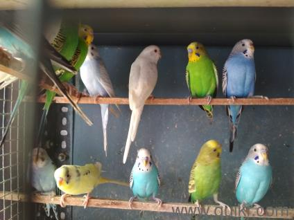 Indian Love Birds sale 200 in Poonamallee, Chennai Pets on Chennai