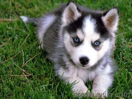 Siberian Husky Black And White Blue Eyes Male Puppy Sale Call Me In