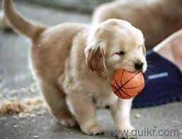 Best Price Range Golden Retriever Male Puppy For Sale In All Over