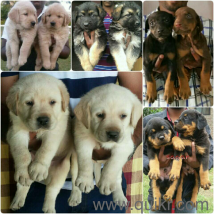 Labrador Beagle German Shepherd Rottweiler Shihtzu Great Dane