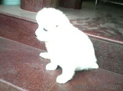 Pomeranian Puppy In Koottupaatha Palakkad Pets On Palakkad Quikr